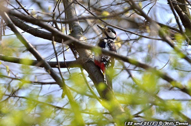 Pic épeiche dans les arbres de mon jardin ( 22 avril 2013 ) Dpp_-oiseaux--0002-3da09c0