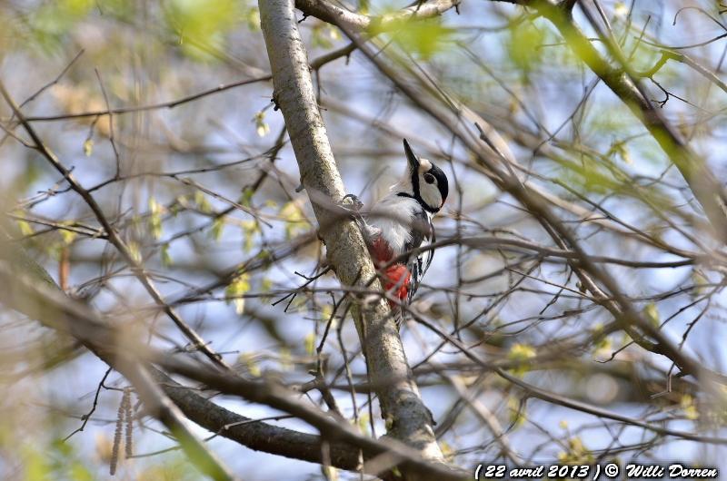 Pic épeiche dans les arbres de mon jardin ( 22 avril 2013 ) Dpp_-oiseaux--0004-3da0975
